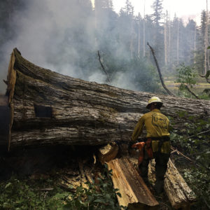 Wildland firefighter cutting a huge downed tree with a chainsaw